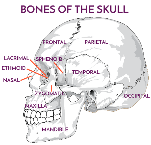 Image of skull with anatomical labels local to each area of the skull